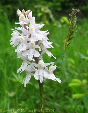 Orchid photo Dactylorhiza maculata