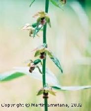 Fotografia orchidey kruštík širokolistý
