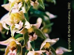 Fotografie orchideje kruštík růžkatý