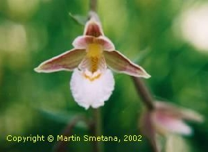 Orchid photo Epipactis palustris