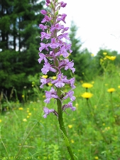 Orchid photo Gymnadenia conopsea