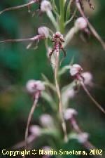 Fotografia orchidey jazýčkovec jadranský (Himantoglossum adriaticum)