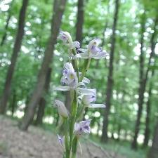 Fotografia orchidey modruška pošvatá (Limodorum abortivum)
