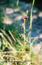 Fotografie orchideje tořič Holubyho
