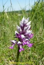 Fotografia orchidey vstavač vojenský (Orchis militaris)