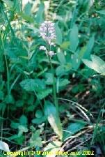 Fotografia orchidey vstavač vojenský