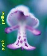 Fotografie orchideje vstavač vojenský