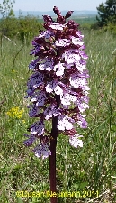 Orchid photo Orchis purpurea