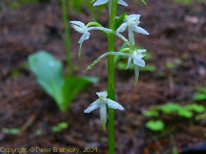 Orchid photo Platanthera bifolia