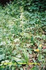 Fotografia orchidey vemenník dvojlistý