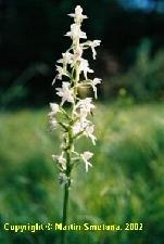 Fotografia orchidey vemenník zelenkastý (Platanthera chlorantha)